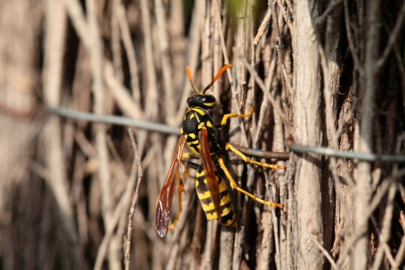 abdomen yellow jacket: Closeup of Large wasp natural background Stock Photo