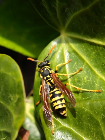 abdomen yellow jacket: Closeup of Large wasp natural background Stock Photo