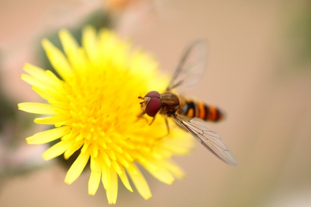 goldy: A bee busy drinking nectar from the yellow flower