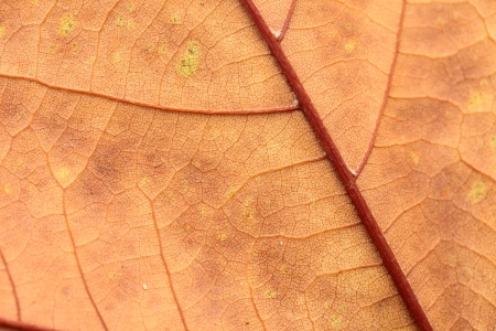 Autumn leaf in macro closeup photo