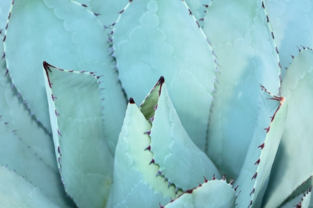 Sharp pointed agave plant leaves bunched together. Stock Photo - 16646321