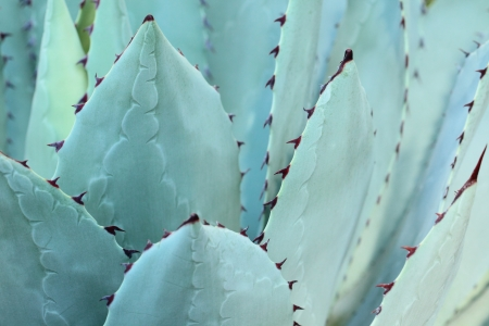 Sharp pointed agave plant leaves bunched together.  Stock Photo