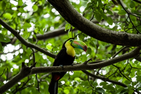 Keel Billed Toucan, from Central America. ( HDR image ) 版權商用圖片