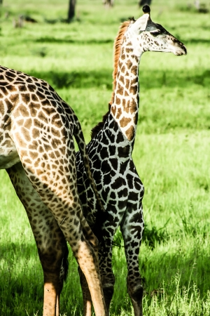 masai giraffes in Serengeti national park ( HDR image ) photo