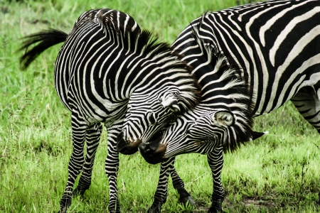 Zebras over green background in Zambia ( HDR image )