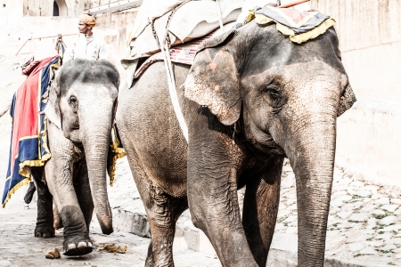 India, Rajasthan, Jaipur, the Amber Fort, elephant driver ( HDR image )