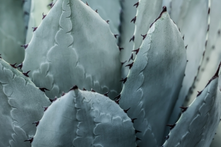 bunched: Sharp ha pianta di agave foglie troppo ravvicinati. (Immagine HDR)