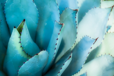 bunched: Sharp pointed agave plant leaves bunched together. ( HDR image )