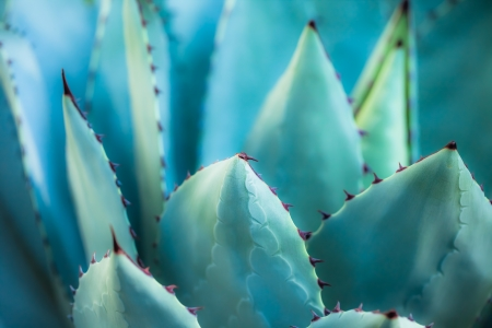 Sharp pointed agave plant leaves bunched together. ( HDR image ) Stock Photo - 17171413