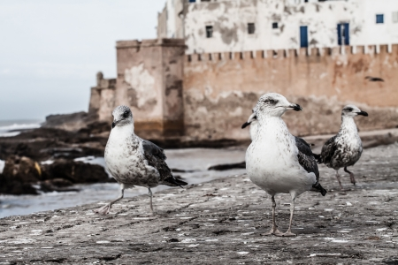 othello: Seagull in Essaouira, Morocco ( HDR image ) Stock Photo