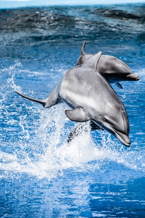 Dolphins swim in the pool ( HDR image )