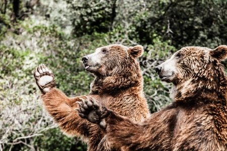 bear paw: Brown bear in a funny pose ( HDR image ) Stock Photo