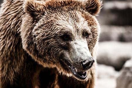 L'ours brun dans une drôle de pose (image HDR)