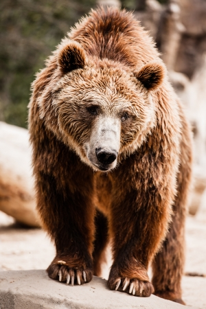 Brown bear in a funny pose ( HDR image ) Stock Photo - 17292833