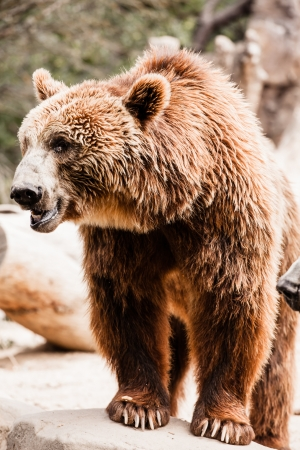 grouchy: Brown bear in a funny pose ( HDR image ) Stock Photo