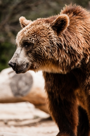 Brown bear in a funny pose ( HDR image ) Stock Photo - 17292812