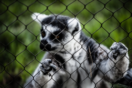 Two ring-tailed lemur sitting on grass ( HDR image ) photo