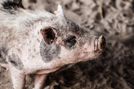 Wild boar in natural background ( HDR image ) Stock Photo - 17292817