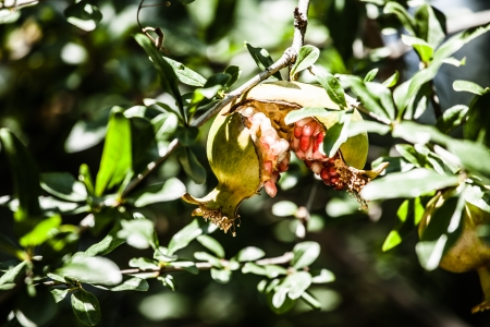Pomegranate Tree in green background ( HDR image ) Stock Photo - 17329884