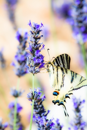 Swallowtail Drinking sitting in lavender plant ( HDR image ) photo