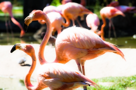Pink flamingos against green background ( HDR image ) photo
