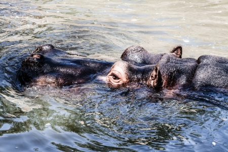 The hippopotamus (Hippopotamus amphibius), ( HDR image ) Stock Photo - 17364007