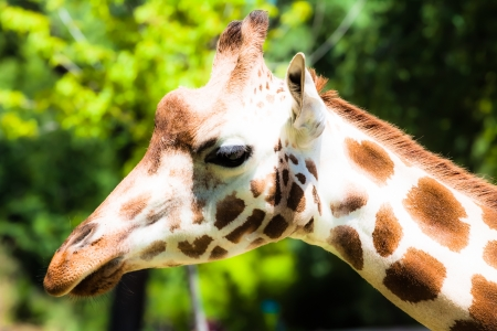 Giraffe (giraffa camelopardalis) in local zoo ( HDR image ) photo