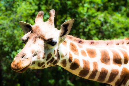 Giraffe (giraffa camelopardalis) in local zoo ( HDR image ) photo