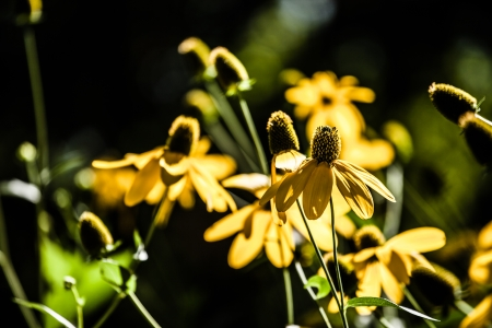Black eyed susan flowers background ( HDR image ) Stock Photo - 17409611