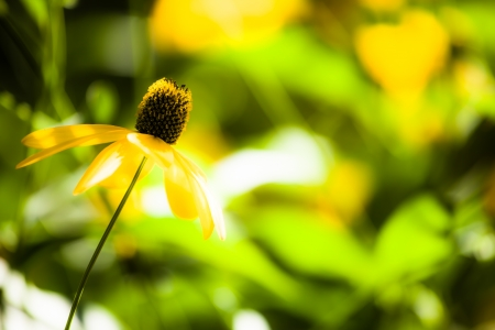 Black eyed susan flowers background ( HDR image ) Stock Photo - 17409578