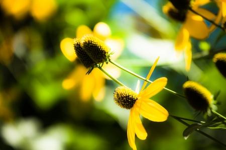 Black eyed susan flowers background ( HDR image ) Stock Photo - 17409579