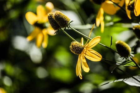 Black eyed susan flowers background ( HDR image ) Stock Photo - 17409613