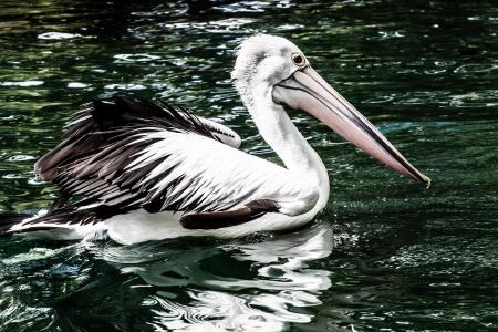 Australian pelican has a rest  Stock Photo - 17482363