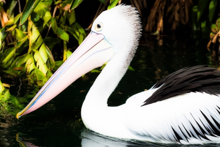 Australian pelican has a rest Stock Photo - 17478779