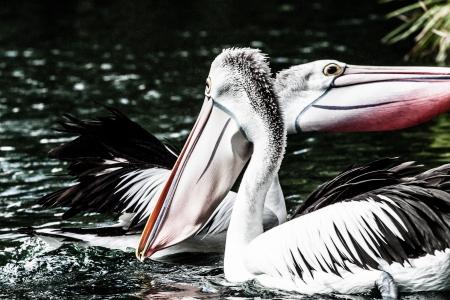 Australian pelican has a rest   Stock Photo - 17482342