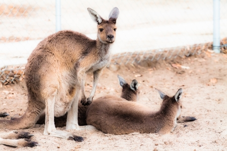 Kangaroo in Australia Stock Photo - 17481846