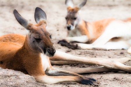 Kangaroo in Australia Stock Photo - 17478789