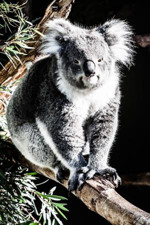 Koala in its natural habitat  photo