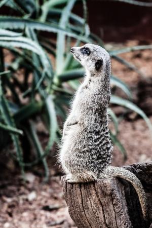 erdmaennchen: The meerkat (Suricata suricatta) ( HDR image ) Stock Photo