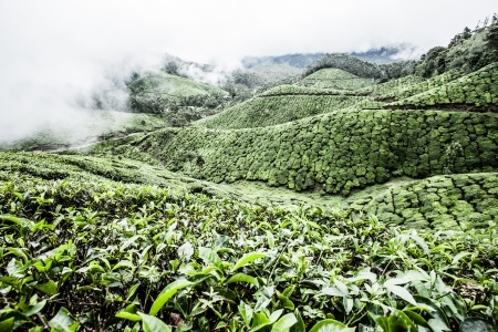 Tea plantation in Munnar, India ( HDR image ) photo
