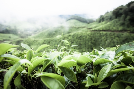 hdr background: Tea plantation in Munnar, India ( HDR image )