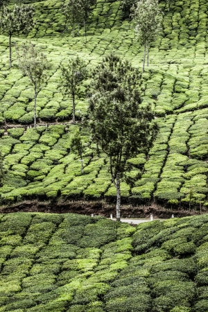 Tea plantation in Munnar, India ( HDR image ) Stock Photo - 17553016