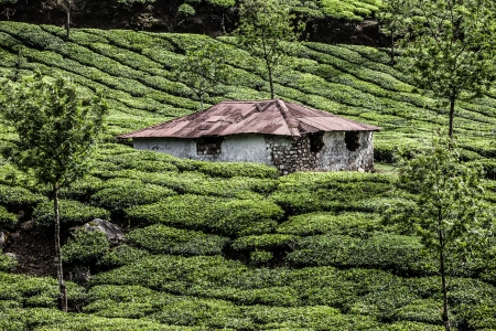 Tea plantation in Munnar, India ( HDR image ) Stock Photo - 17553007