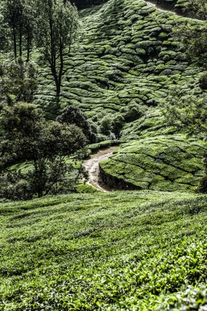 Tea plantation in Munnar, India ( HDR image ) Stock Photo - 17552988