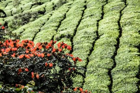 munnar: Tea plantation in Munnar, India ( HDR image )