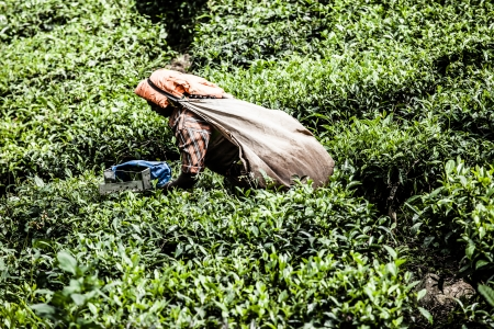 best known: Woman picking tea leaves in a tea plantation, Munnar is best known as Indias tea capital  ( HDR image )