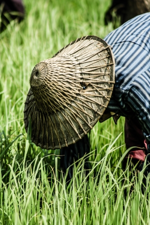 allepey: Rural woman working in rice plantation, Myanmar