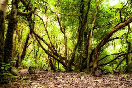Rainforest in Garajonay National Park, La Gomera, Canary islands Stock Photo - 17608253