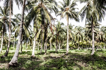 Green Palm Forest in Colombian Island ( HDR image )  Stock Photo - 17717518