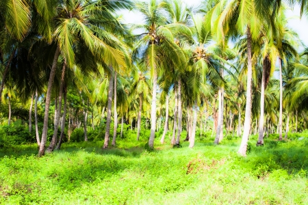 Green Palm Forest in Colombian Island ( HDR image )  photo